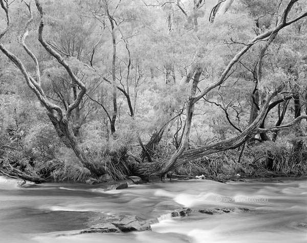 Lefroy Brook Wattie tree karri forest Pemberton Australia